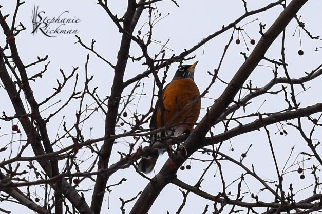 Robin 1-