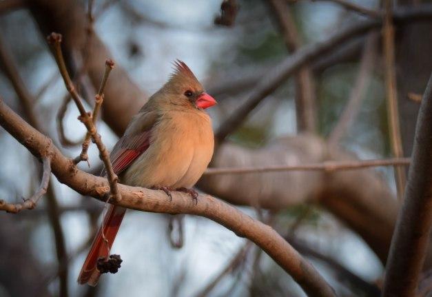 Cardinal Femal