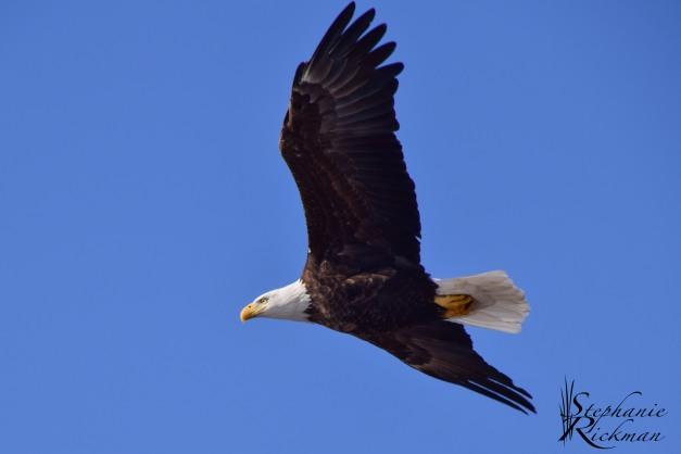 Eagle-0346