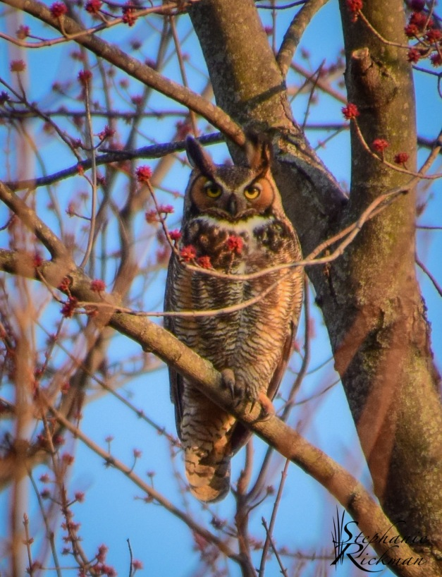Owl-0306