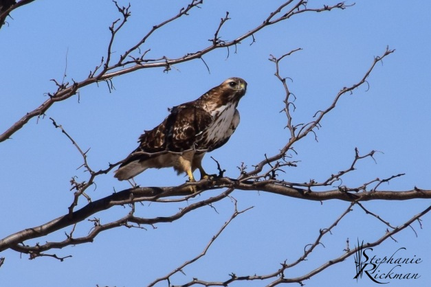 Red-tailed Hawk-0180