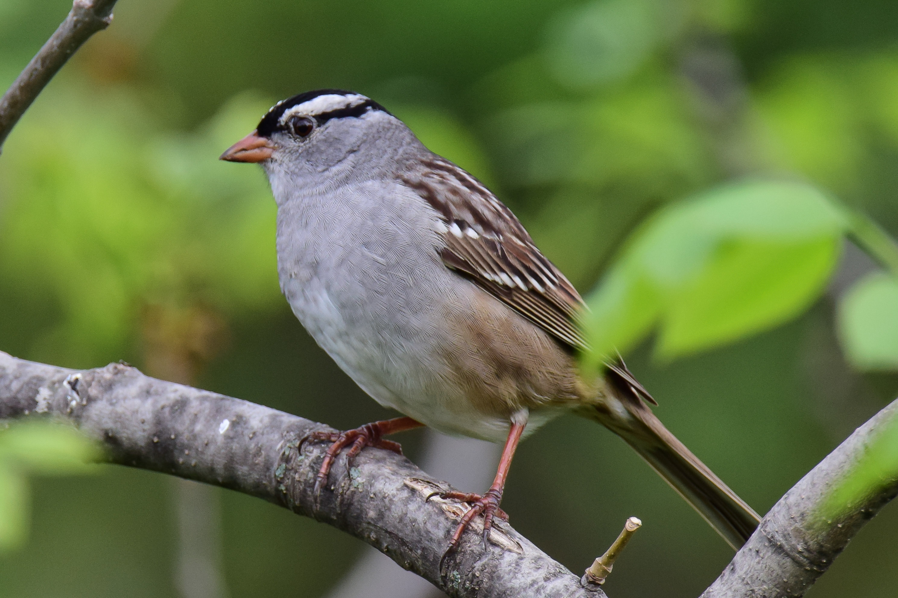 White-crowned Sparrow | In My Eyes