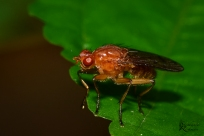 Fruit fly-2