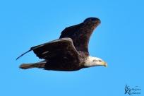 Eagle-5