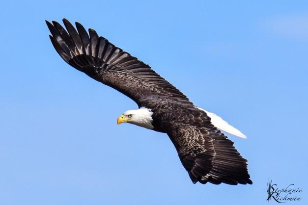 Eagle_-3