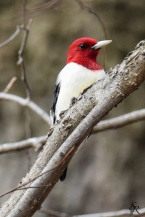 Red-headed Woodpecker Nikon D5300 | Tamron 150-600mm | @600mm | 1/1600| f/9| ISO 2500