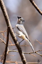 Tufted Titmouse Nikon D5300 | Tamron 150-600mm | @450mm | 1/3200| f/8| ISO 2500