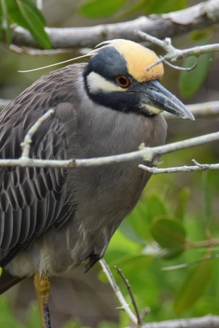 Yellow-crown Night Heron-6