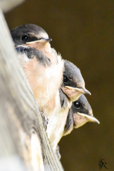Barnswallow-3