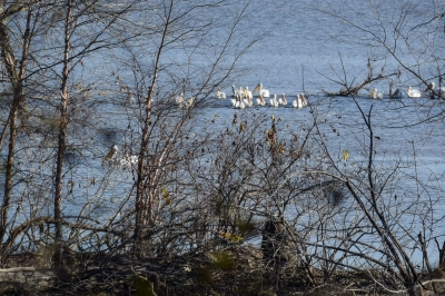 Pelicans on the Mississippi River